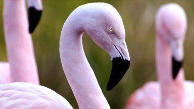 Photo of Flamingi – różowi mieszkańcy jezior