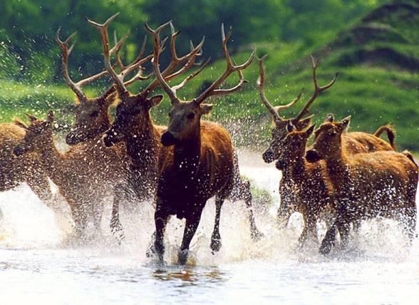 Członków rodziny jeleniowatych (Cervidae) charakteryzuje obecność poroża inaczej zwanego wieńcem.