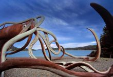 Photo of Kałamarnice – giganty z głębin
