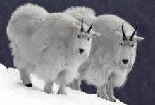 Photo of Kozły śnieżne – rogaci władcy gór