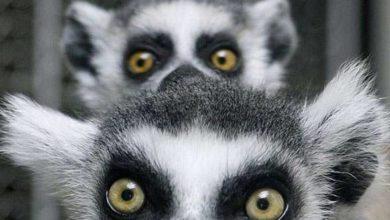 Photo of Lemury – małpiatki z Madagaskaru