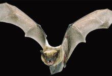 Photo of Nietoperze (Chiroptera) – latające ssaki