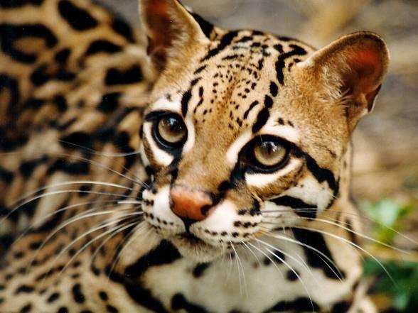 Ocelot Najpiękniejszy Kot świata Dinoanimalspl