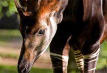 Photo of Okapi – afrykański jednorożec