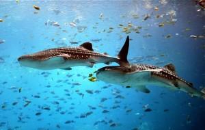 Rekin wielorybi