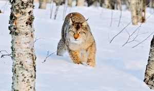 Dzięki szerokim łapom, ryś podobni jak irbis wspaniale porusza pośród śnieżnych zasp.
