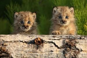 Młode rysie z ciekawością oglądają otaczający je świat.
