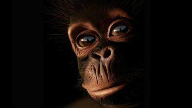 Photo of Szympans (Pan)