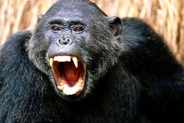 [Obrazek: Szympans-DinoAnimals.pl-2.jpg]