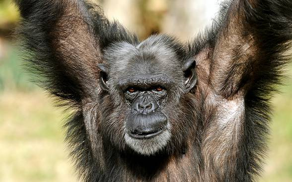 [Obrazek: Szympans-DinoAnimals.pl-5.jpg]