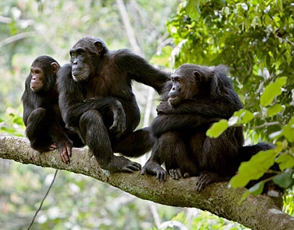 Szympans zwyczajny to zwierzę terytorialne, które często zabija inne szympansy.