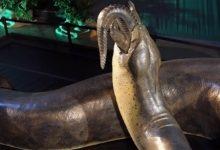Photo of Titanoboa – największy wąż świata