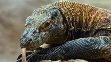 Photo of Waran z Komodo (Varanus komodoensis)