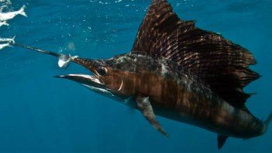 Photo of Żaglica – najszybsza ryba świata