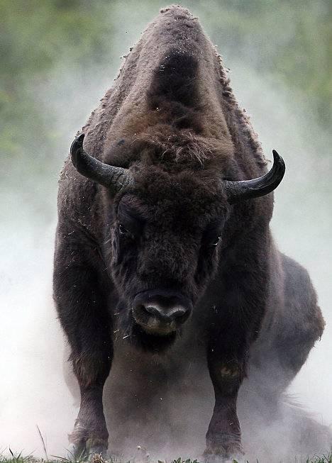 Żubr (Bison bonasus)