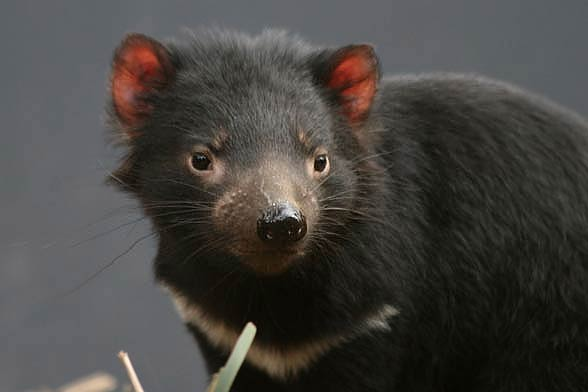Diabeł tasmański (sarcophilus harrisii).