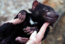 Photo of Diabeł tasmański – agresywny torbacz