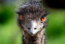 "Photo of ""Struś"" Emu"