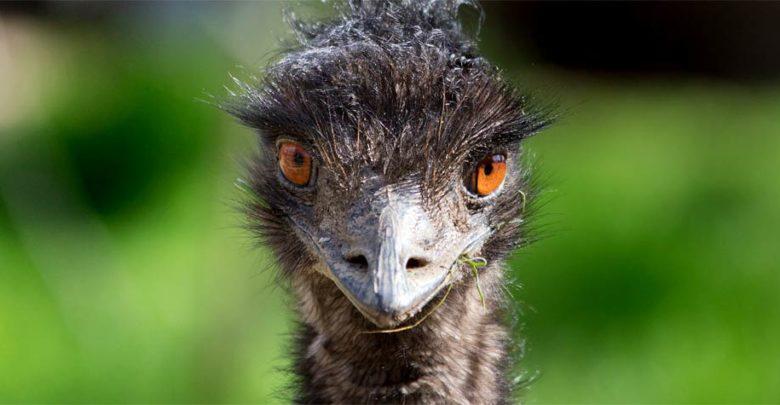 """Photo of """"Struś"""" Emu"""
