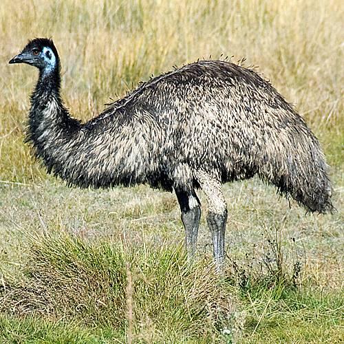 Image result for strus Emu