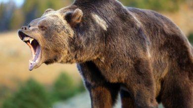 Photo of Niedźwiedź grizzly – niedźwiedź szary
