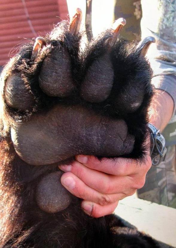 Grizli, grizzly, niedźwiedź szary (Ursus arctos horribilis).