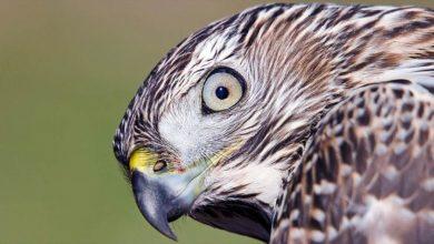 Photo of Jastrząb zwyczajny (Accipiter gentilis)