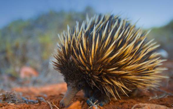 Kolczatka australijska (Ttachyglossus aculeatus).