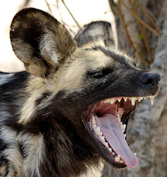 Likaon, simir (Lycaon pictus) - afrykański dziki pies.