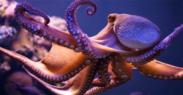 Photo of Ośmiornice (Octopoda)