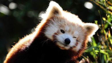 Photo of Panda mała, panda czerwona, pandka ruda