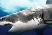 Photo of Rekin ludojad – żarłacz biały