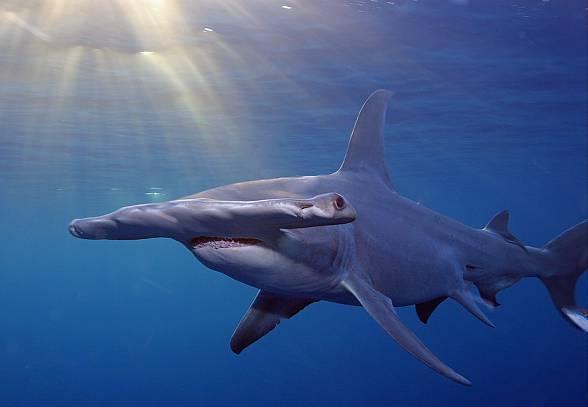 Rekin młot - ryba o wyjątkowej głowie   DinoAnimals.pl