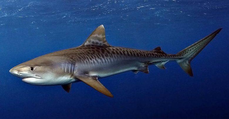 Photo of Rekin tygrysi – żarłacz z oceanów