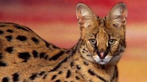 Serwal (Leptailurus serval lub Felis serval).