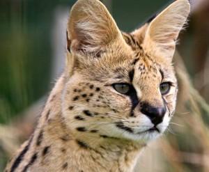 Serwal posiada charakterystyczne, duże uszy, które pozwalają mu na nasłuchiwanie poruszających się w pobliżu potencjalnych ofiar.