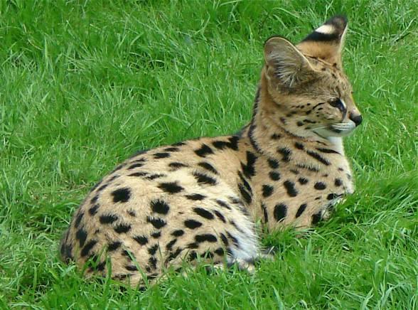 Wspaniały Kot Serwal FT47