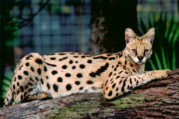 Serwal Mniejszy Gepard Dinoanimalspl