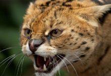 Photo of Serwal – mniejszy gepard