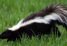 """Photo of Skunks (Mephitidae) – """"śmierdzący"""" ssak"""
