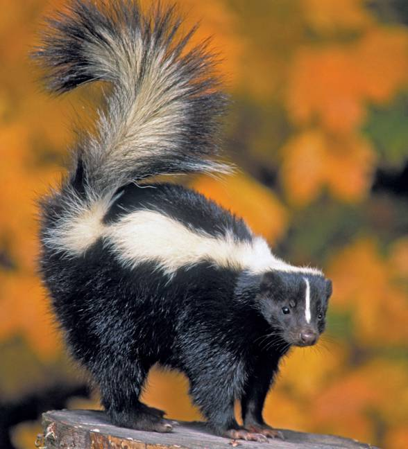 Skunks zwyczajny (Mephitis mephitis)