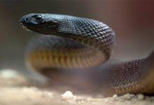 Photo of Tajpan pustynny – najbardziej jadowity wąż