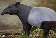 Photo of Tapir (Tapirus) – eklektyczne zwierzę