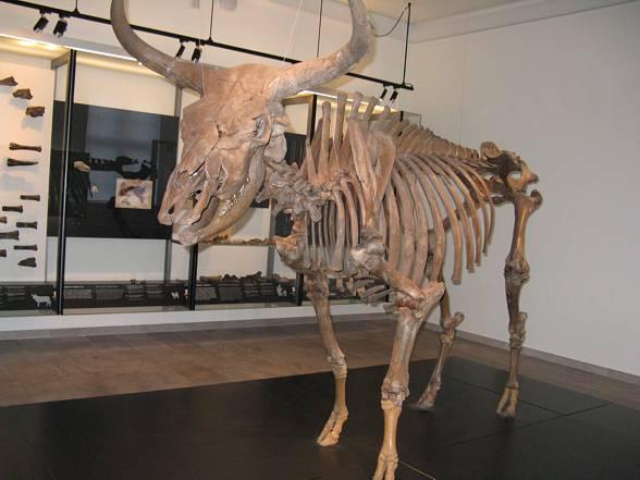 Szczątki wymarłego tura, znajdujące się w muzeum.