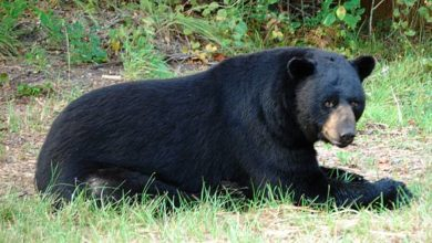 Photo of Baribal – niedźwiedź czarny.