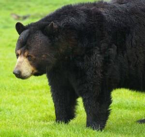 Baribal, niedźwiedź amerykański, niedźwiedź czarny (Ursus americanus).