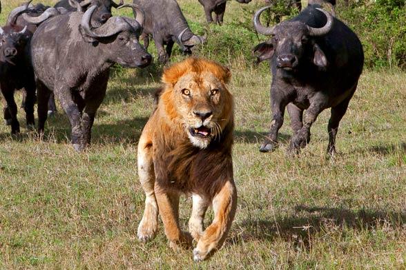 I kto tu jest królem zwierząt, czyli nie zadzieraj z bawołem :)?
