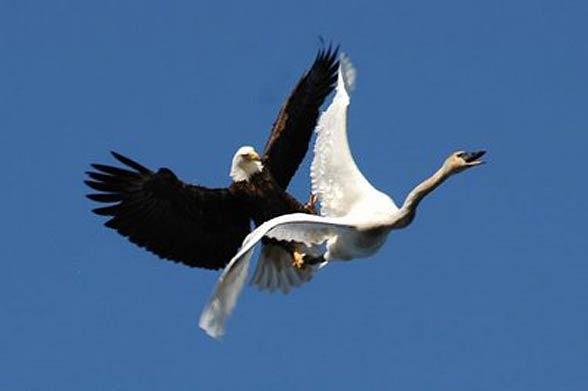Bald eagle wingspan comparison essay