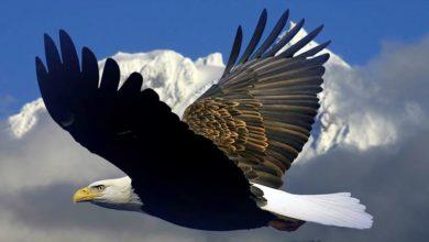 Photo of Bielik amerykański