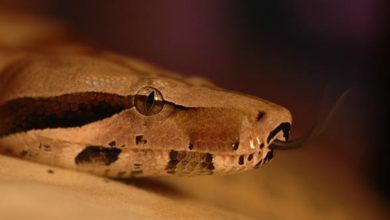 Photo of Boa dusiciel (Boa constrictor).